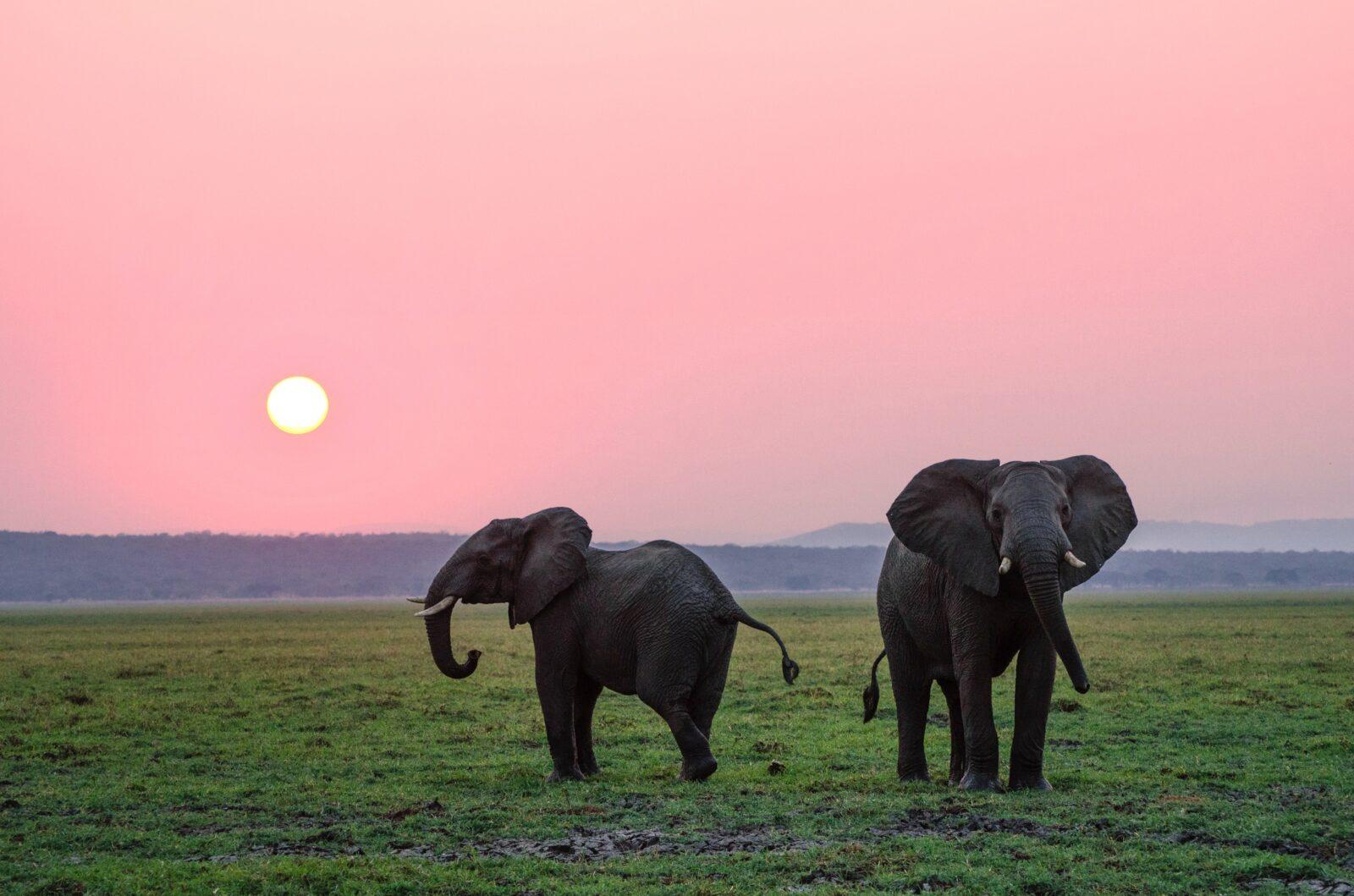 Two elephants in a field